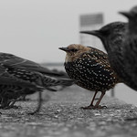 What Starlings Can Teach Us About Herd Mentality
