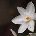 First Paperwhites 2013 (Narcissus papyraceus) - 07