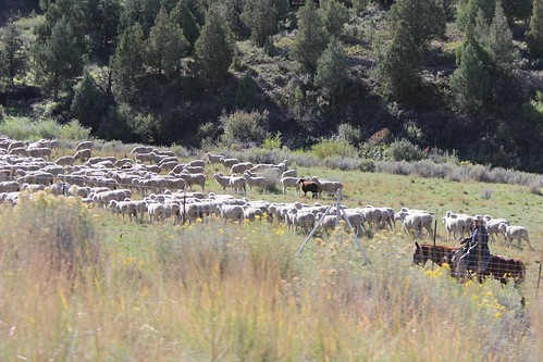 IMG_2343_Sheep_Herder_Between_Provo_&_Moab
