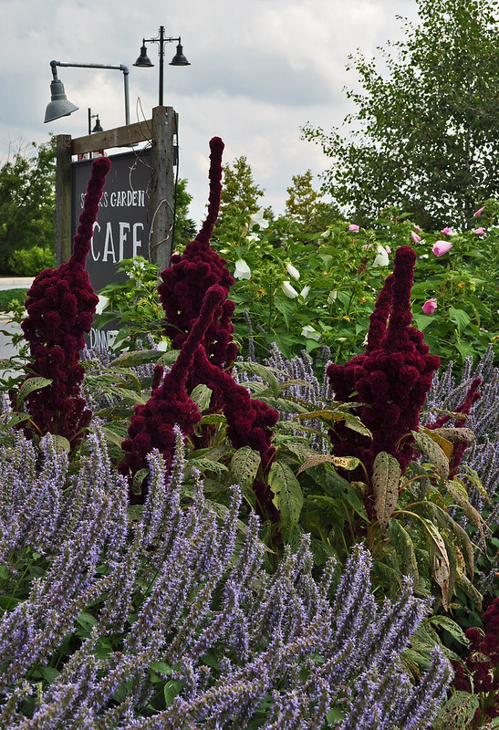 Front Entrance - Amaranth and Agastache