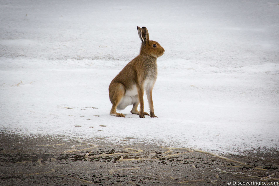 wild hare in the snow 3
