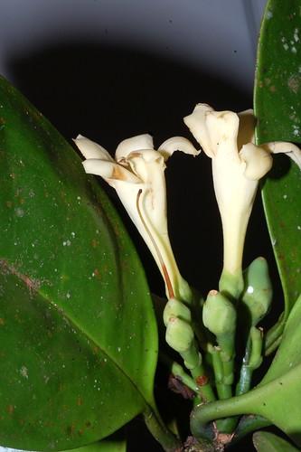 Fagraea cambagei DSC_0021 (2)