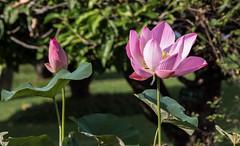4Y1A0977 Lotus flower