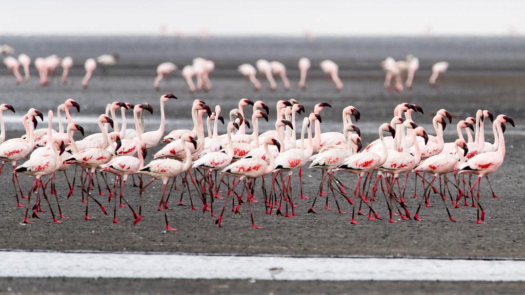 Flamingos at Lake Natron, Tanzania