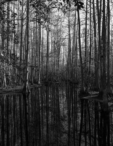 baldcypress florida highlandshammockstatepark lensshift taxodiumdistichum usa sebring unitedstates canoneos5dmkiii monochrome canontse24mmf35lii