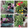 Flowers moved from the #birdbath holding  area to the #repurposed, old #wheelbarrow, now #planter.  Still putting in plants. #compost #gardening #flowers #nature #naturephotography #homestead