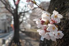 Cherry blossom 桜 Sakura