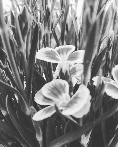 Clavelinas de #primavera #spring #love #instagood #beautiful #nature #amazing #beauty #bestoftheday #photo #pretty #flowers #instalove #awesome #white #instago #spring #all_shots #flower #garden #igaddict #plants #floral #flowerstagram #clavel #igersciuda