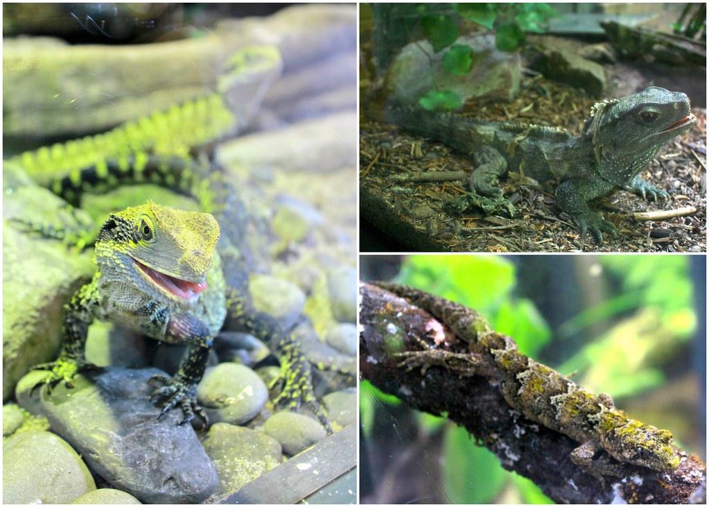 rainbow-springs-lizards-new-zealand