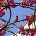 House Finch vs. Cherry Blossoms Prunus Kanzan (関山)(八重桜)