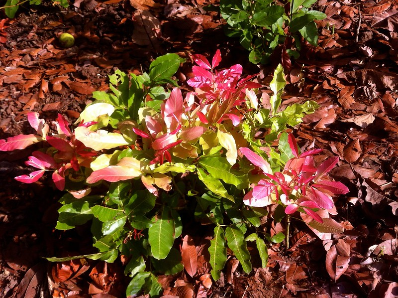 Fresh pink leaves - Nagle Nature Trail