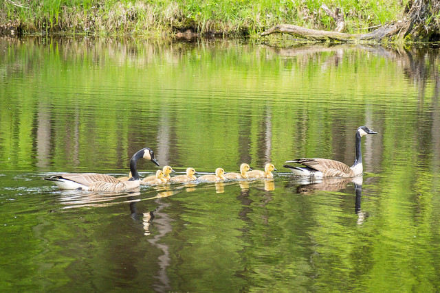 Canada Goose, Geese, Goslings, Swimming, Water