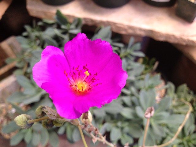 Pink rock purslane flower