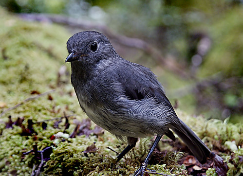 New Zealand Bush Robin. (Philesturnus  carunculatus)
