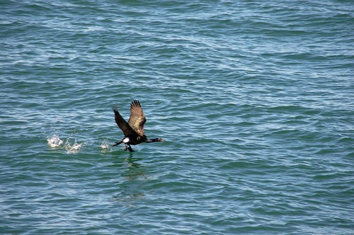 Cormorant Taking Flight