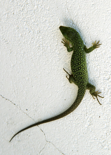 LIZARD ON THE WALL by juanluisgx