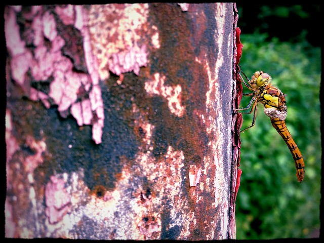 Common Darter with crumpled wings