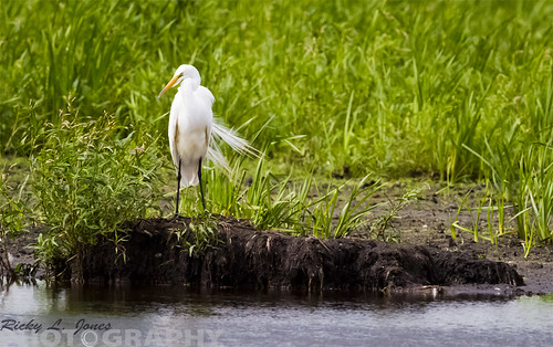 Great Egret by Ricky L. Jones Photography