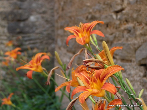 dailyhelen_lilies by dailyhelen