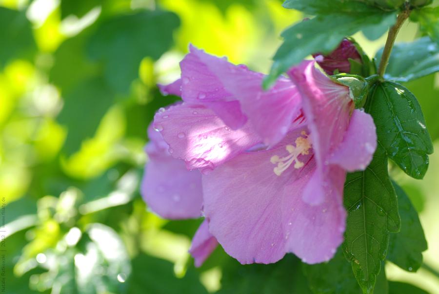 Hibiscus in my garden
