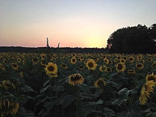 IPhone sunflowers!  More to come...