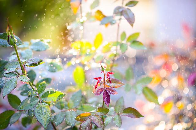 Rose watering