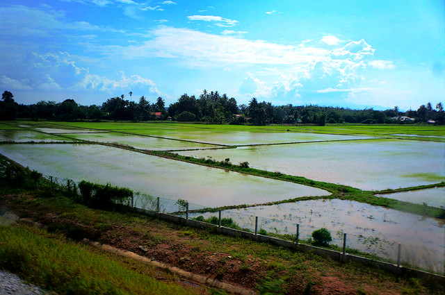 Bangkok Trip by Train: Padi Fields