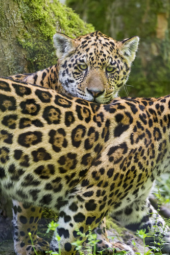 Two young jaguars together by Tambako the Jaguar
