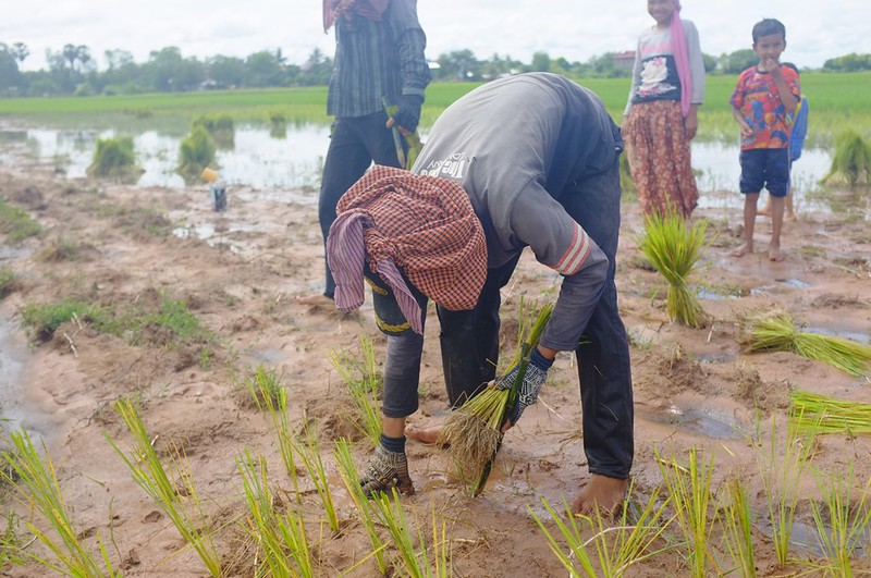 Rice Paddy, Kg Thom