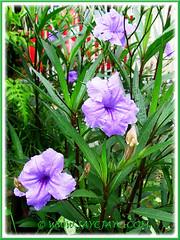 Ruellia simplex 'Purple Showers' (Britton's Wild Petunia, Mexican Petunia/Bluebell) in the neighbourhood, 21 Dec 2011