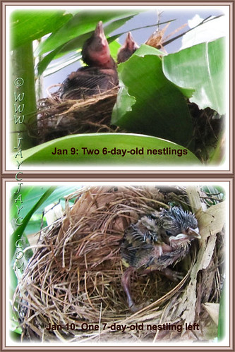 Pycnonotus goiavier (Yellow-vented Bulbuls): from two nestlings to one left on Jan 10 2014