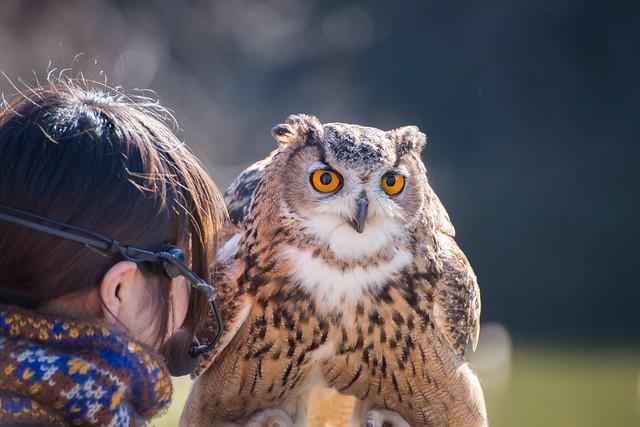 ベンガルワシミミズク - 掛川花鳥園 バードショー