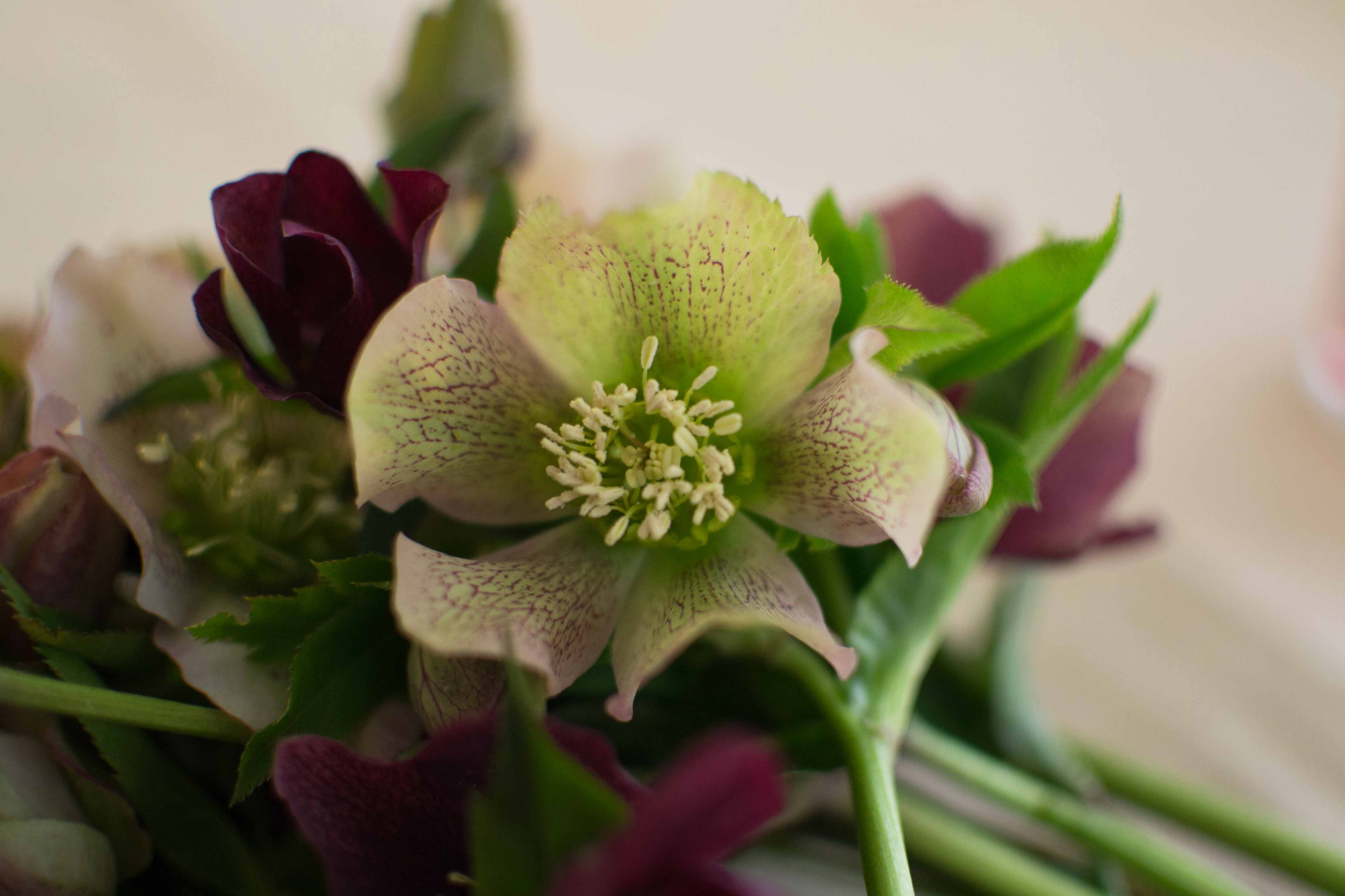 hellebore blossoms