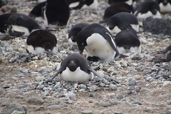 209 Brown Bluff  Adeliepinguins met kuikens