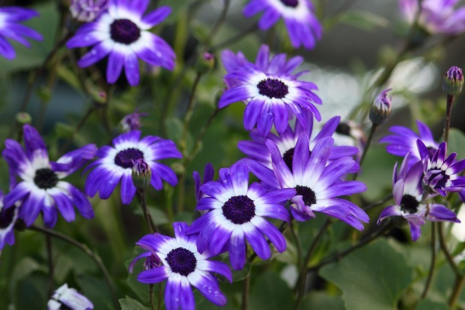 Purple flowers - Senetti 032314