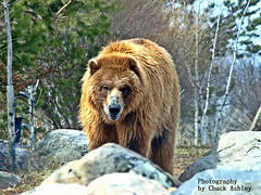 2014-04-02 Mn Zoo Playful Grizzlies-W 242