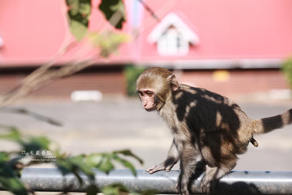 台灣獼猴 (29)