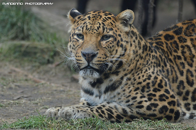 African leopard - Olmense Zoo