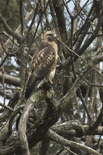 Himalayan Buzzard - Eaglenest - India_FJ0A7991