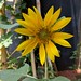 Our first home grown sunflower.