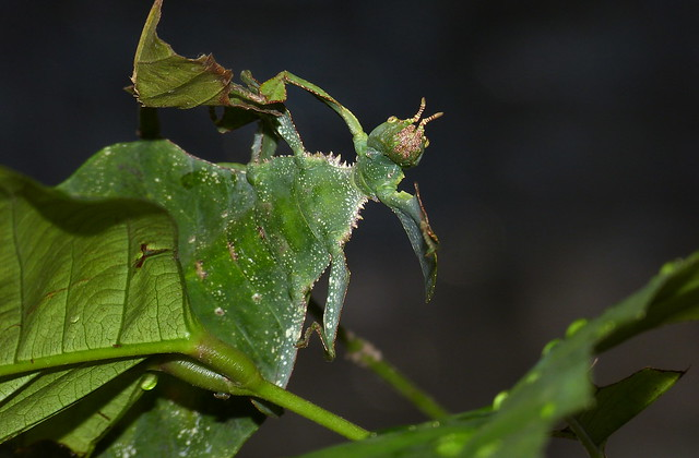 Giant Leaf Insect (Phyllium giganteum) | Flickr - Photo ...