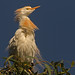 Cattle Egret Beauty Queen
