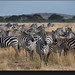 Herd of zebra, Serengeti