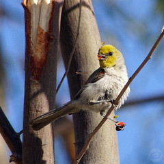 The Amazing Verdin
