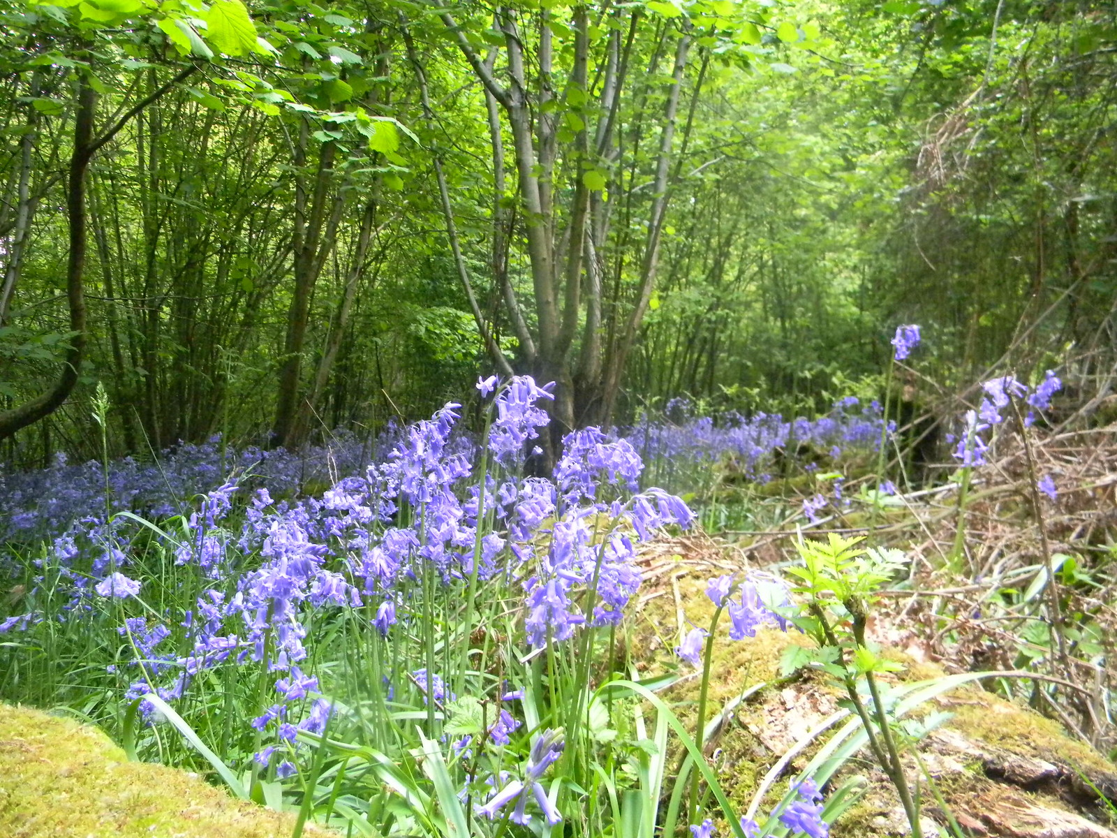 Bluebells Gerrards Cross to Cookham In the woods past point[3]