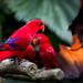 Small photo of Red Lory (Eos bornea or Eos rubra)