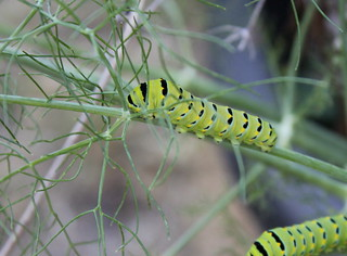 Swallowtail Butterfly Larvae Munching Down The Fennel