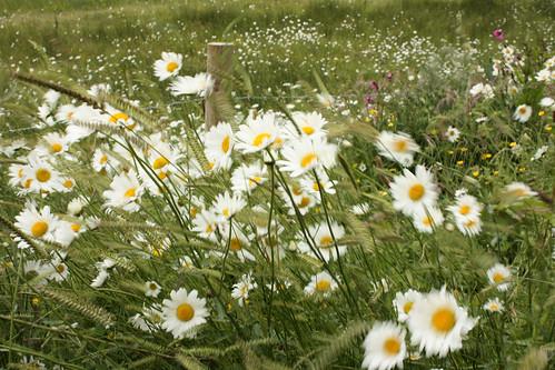 Windblown daisies