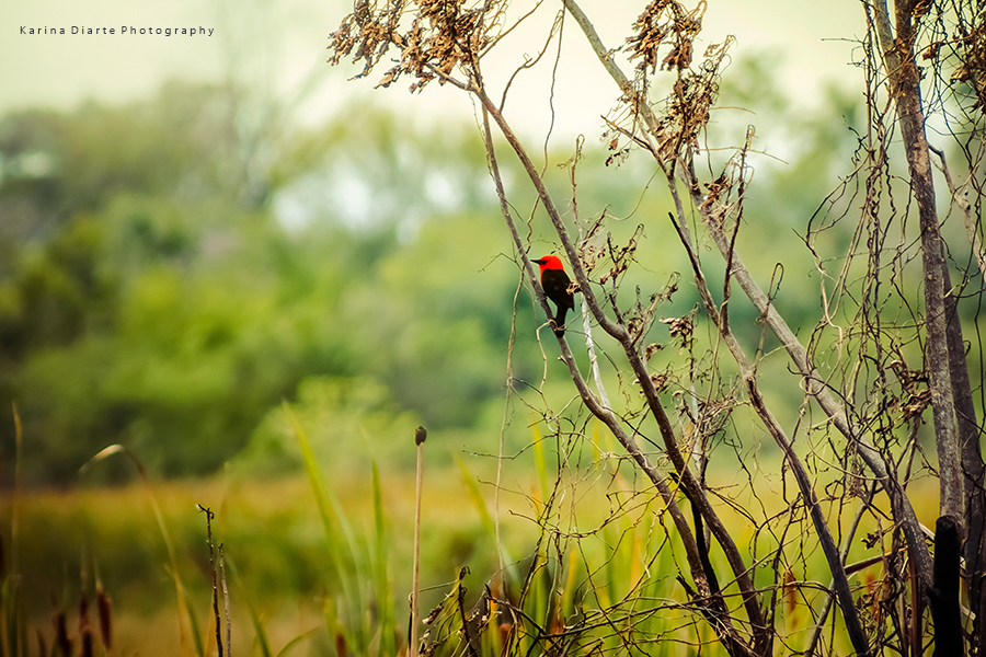 Federal / Scarlet-headed blackbird