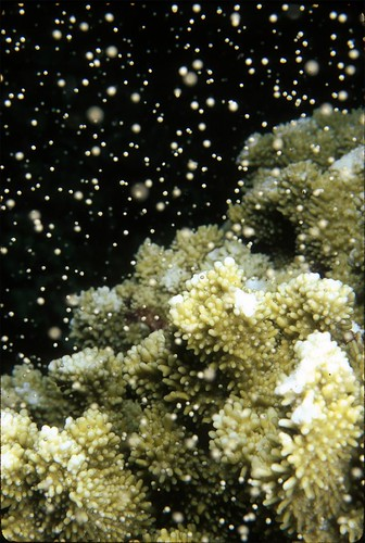 Photo: Rice Coral Spawning by Pauline Fiene